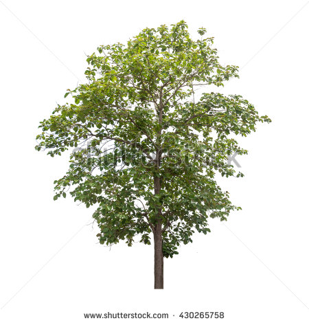 Teak Tree Stock Photos, Royalty.