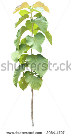Teak Plantation Stock Photos, Royalty.