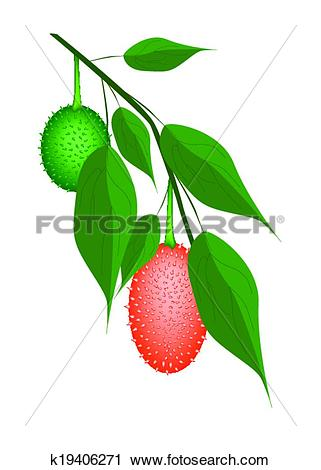 Clipart of Fresh Two Teasel Gourds on A Tree k19406271.