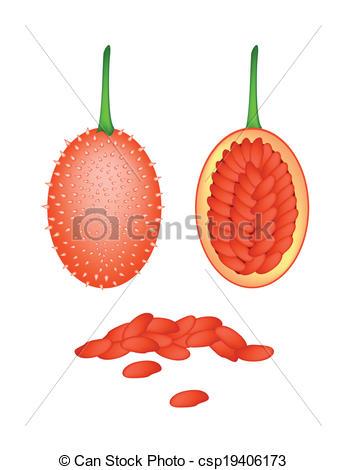 Vectors Illustration of Fresh Ripe Teasel Gourds on White.