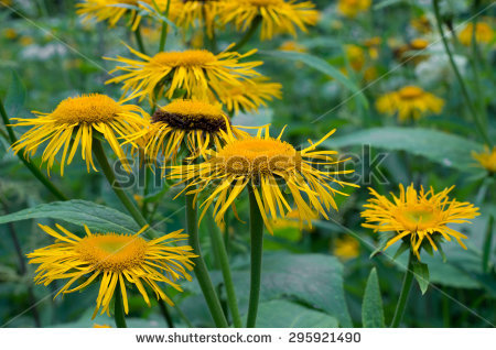 Oxeye Stock Photos, Images, & Pictures.