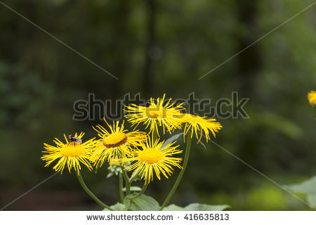 "heartleaf Oxeye"" Stock Photos, Royalty."