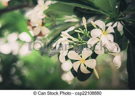 Pictures of Frangipani or Pagoda tree or Temple tree flower.