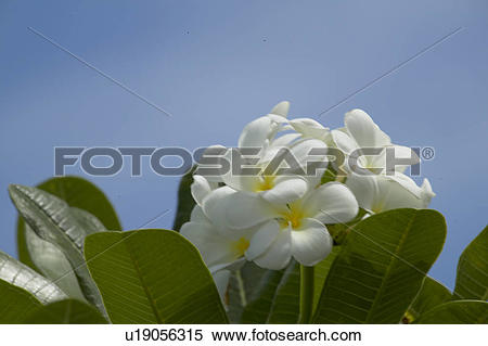 Stock Image of Temple Tree Blossoms u19056315.