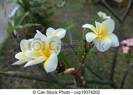 Stock Photography of Temple tree.