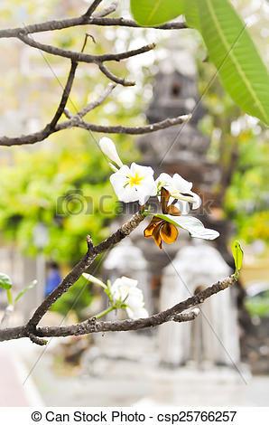 Stock Images of frangipani flower,Plumeria , Pagoda tree, Temple.