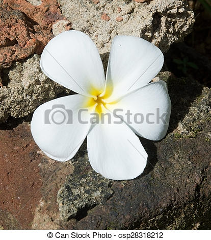 Stock Photography of Temple Tree Flower.