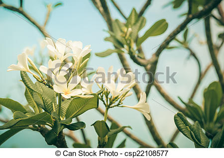 Picture of Frangipani or Pagoda tree or Temple tree flower vintage.