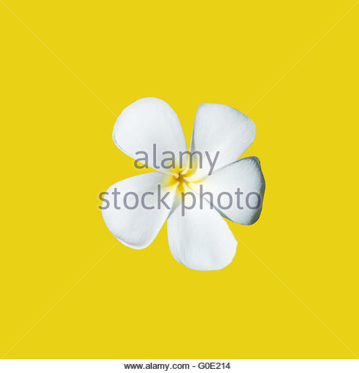 Temple Tree Flower Frangipani Isolated Stock Photos & Temple Tree.