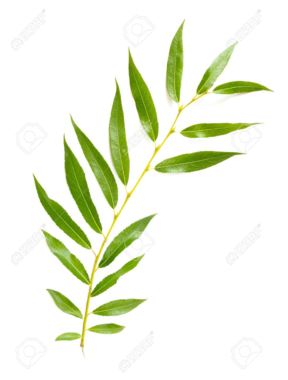 A Tender Green Weeping Willow Leaf On White Background Stock Photo.