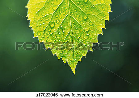 Stock Images of Tender Green with Trickle, Close Up u17023046.