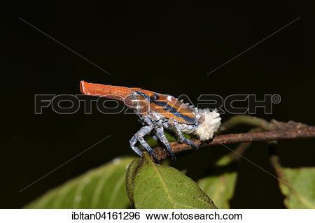 Stock Images of Beetle (Pyrops tenebrosa), Andringitra Massif.