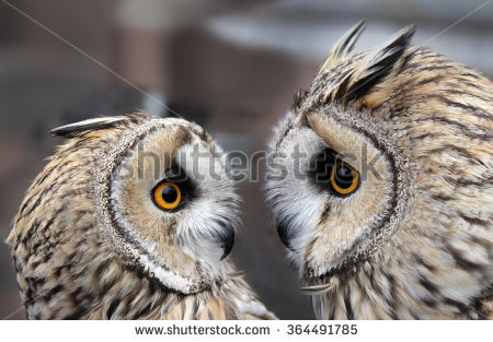 Two Boreal Owls Europe They Typically Stock Photo 364491785.