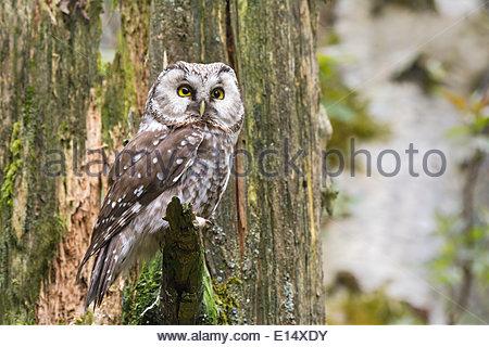 Adult Boreal Owl Aegolius Funereus Stock Photos & Adult Boreal Owl.