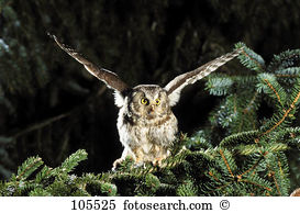 Tengmalms owls Stock Photos and Images. 17 tengmalms owls pictures.