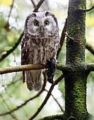 Pictures of Tengmalm's Owl in lair / Aegolius funereus 137088.