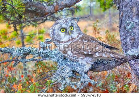 Owl Nest Stock Photos, Royalty.