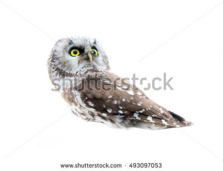Tengmalm's Owl Stock Photos, Royalty.