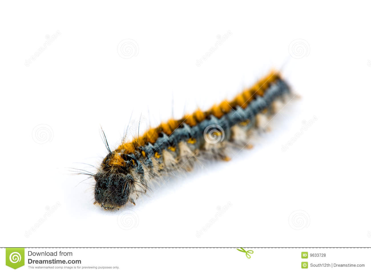 Tent Caterpillar Stock Photos, Images, & Pictures.