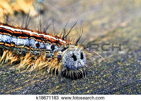 Stock Photo of Forest tent caterpillar backside macro k18671183.