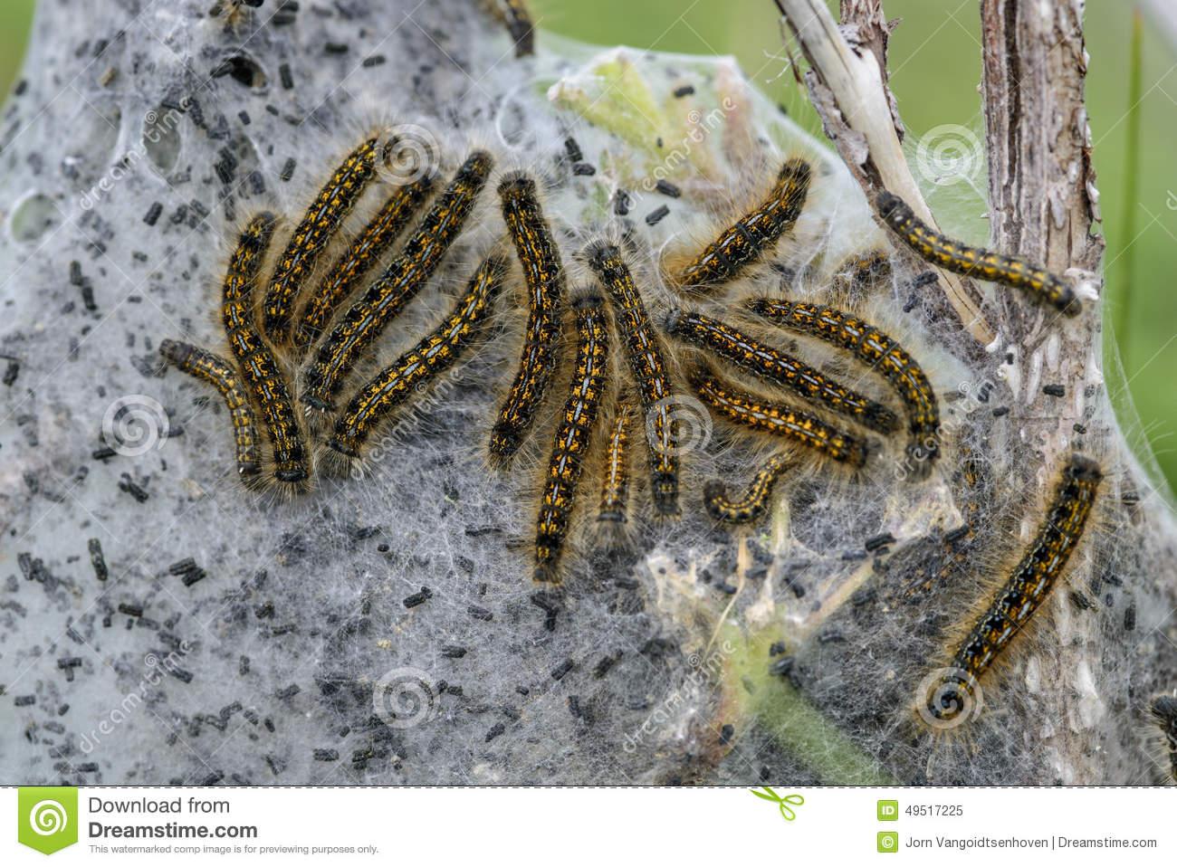 Tent Caterpillar Stock Photo.