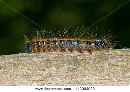 Tent Caterpillar Stock Photos, Royalty.