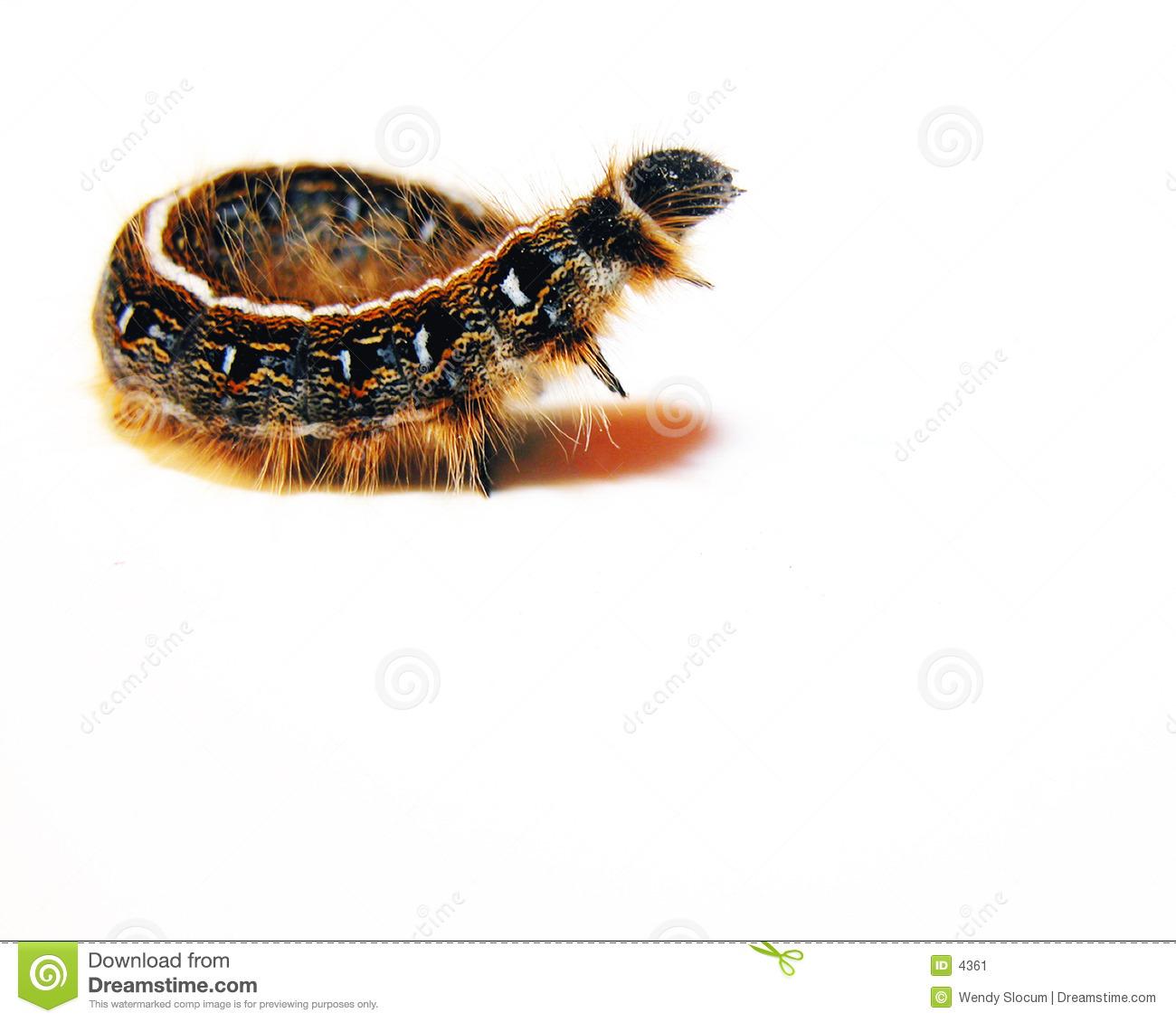 Eastern Tent Caterpillar Stock Image.