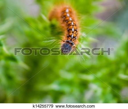 Stock Photograph of close up Western tent caterpillar k14255779.