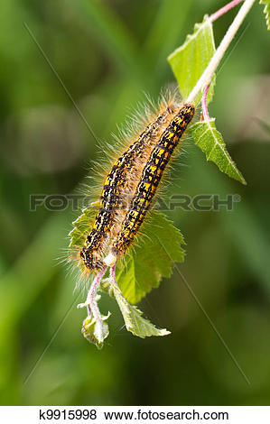 Pictures of Tent caterpillar k9915998.