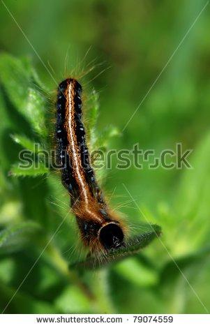 Tent Caterpillar Stock Photos, Royalty.