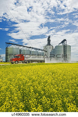 Stock Image of Bloom stage canola field with grain truck and.