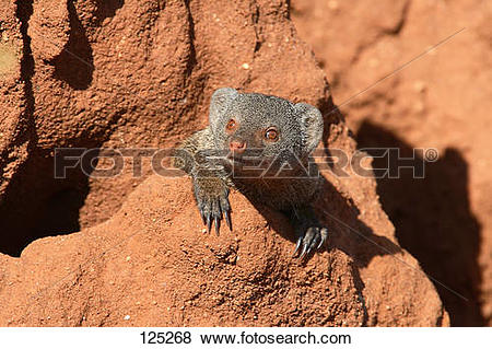 Pictures of dwarf mongoose at termite hill / Helogale undulata.