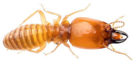 Download Termite PNG Transparent For Designing Projects.