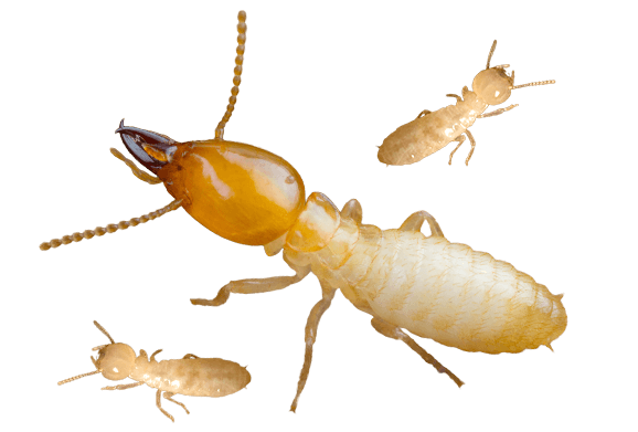 Download Termite PNG Background Image.
