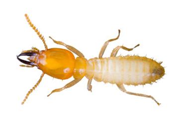 Termite png 2 » PNG Image.