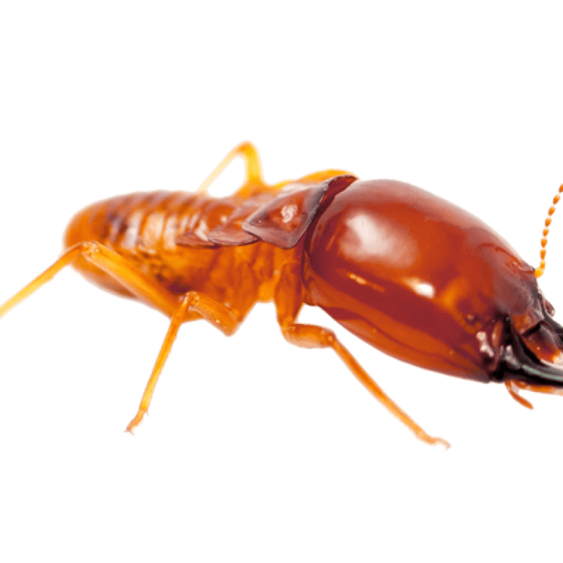Download Free png Termite PNG File.