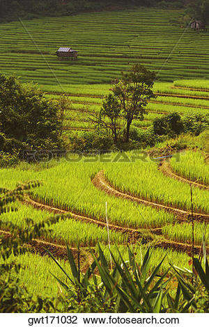 Stock Photo of Rice crop in terraced fields, Thailand gwt171032.