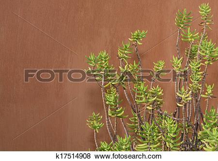 Pictures of Sedum reflexum against terracotta color wall k17514908.