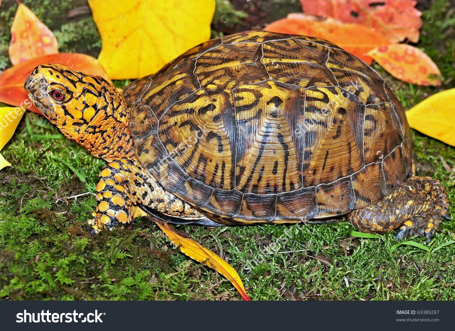 Male Eastern Box Turtle Terrapene Carolina Stock Photo 69389287.