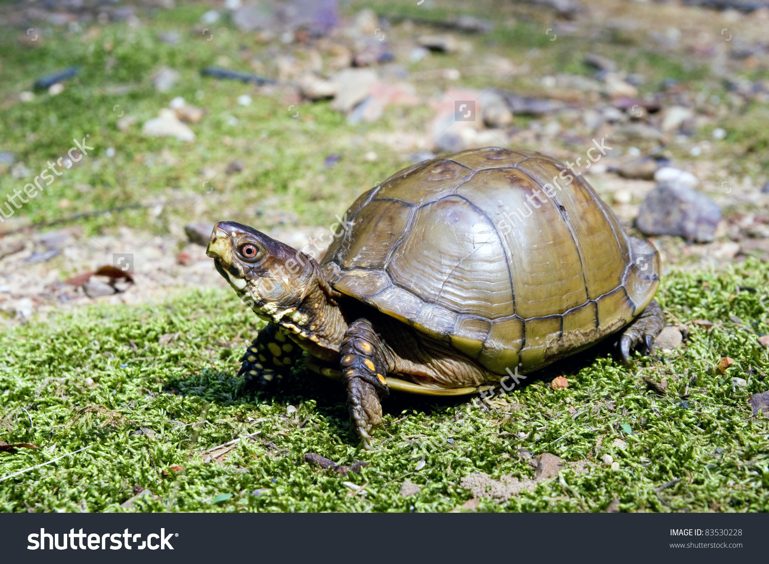 Threetoed Box Turtle Terrapene Carolina Triunguis Stock Photo.