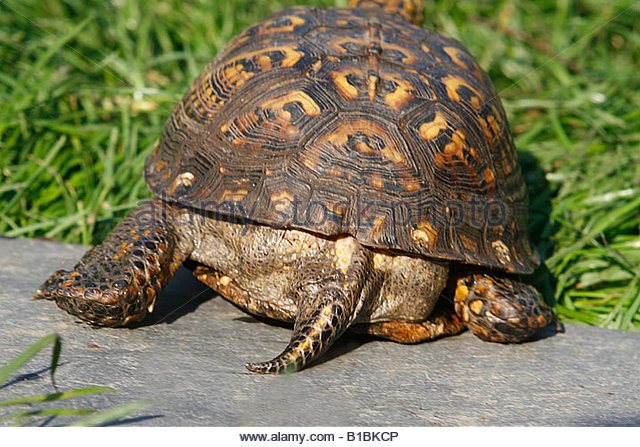 Common Box Turtle Stock Photos & Common Box Turtle Stock Images.