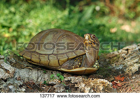 Picture of eastern box turtle / Terrapene carolina carolina 137717.