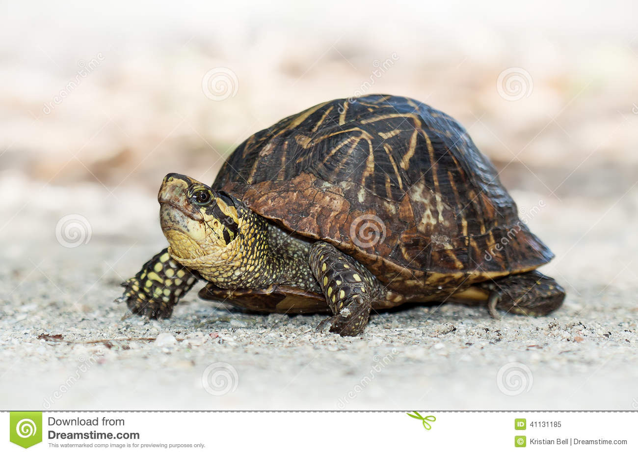 Florida Box Turtle (Terrapene Carolina Bauri) Stock Photo.