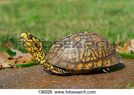 Stock Images of eastern box turtle / Terrapene carolina carolina.