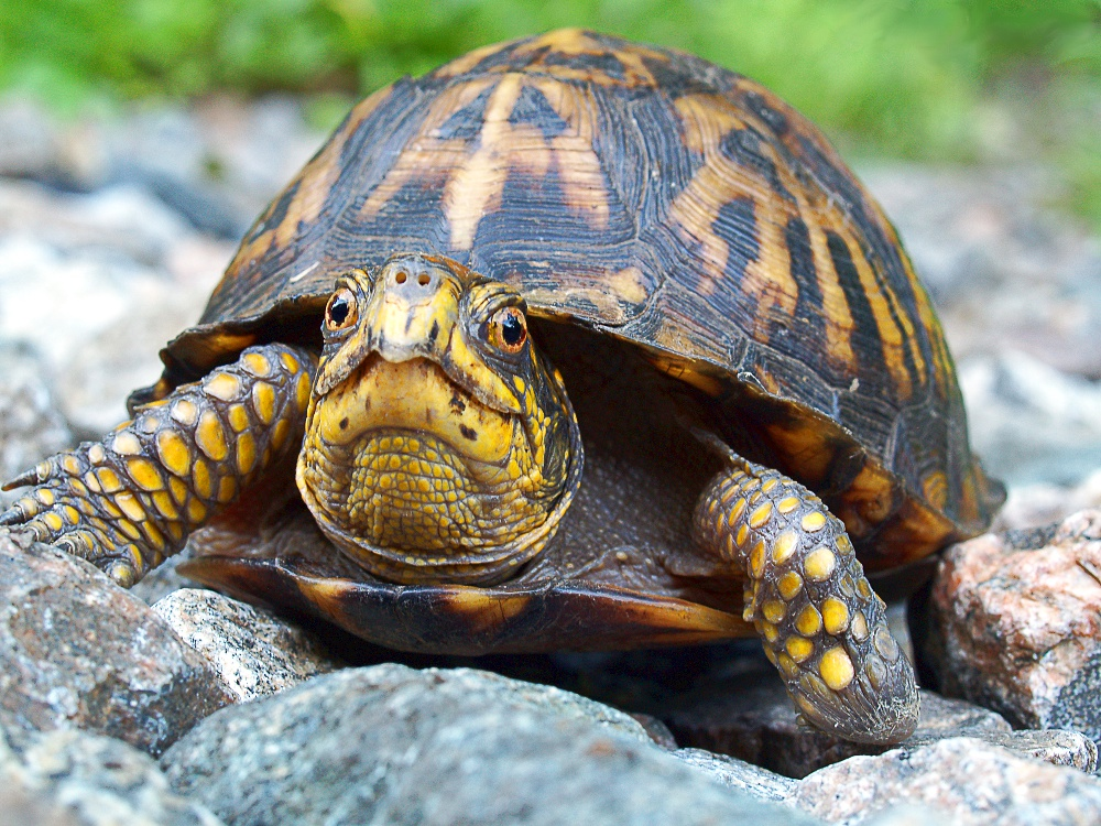 Eastern Box Turtle Terrapene carolina.