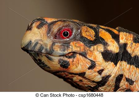 Pictures of Eastern Box Turtle (Terrapene carolina).