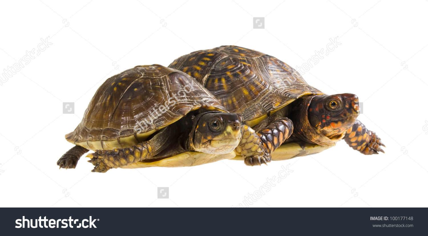 Two Turtles Start Male Female Threetoed Stock Photo 100177148.