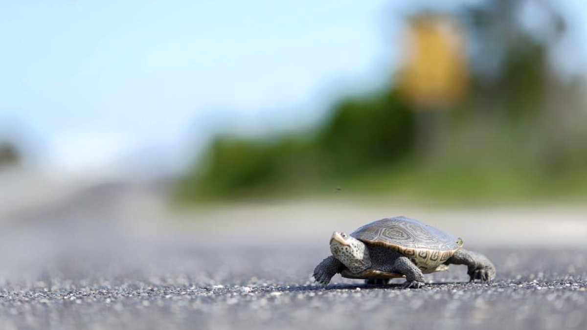 BeTerrapinAware: Watch out for turtles crossing roads during.