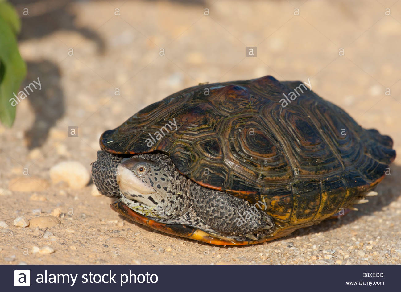 Gravid Female Diamondback Terrapin, Crossing A Road To Look For A.