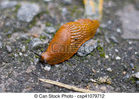Stock Photography of Brown snail, land snail, terrestrial.